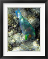 Framed Surf Parrotfish, Low Isles, Great Barrier Reef, Australia