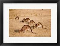 Framed Eastern Grey Kangaroo group grazing