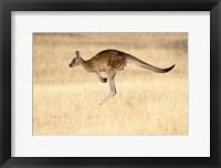 Framed Eastern Grey Kangaroo, Tasmania, Australia