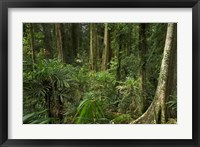 Framed Australia, NSW, Rainforest Trees, Wonga Walk, Dorrigo NP