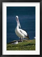 Framed Australian Pelican bird, Blacksmiths, Australia