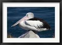 Framed Australian Pelican bird, Blacksmiths, NSW, Australia