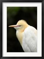 Framed Cattle Egret (Ardea ibis), North Queensland, Australia