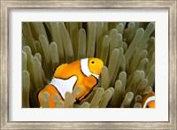 Framed Australia, Great Barrier Reef, Clown fish