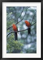 Framed Male Australian King Parrots, Queensland, Australia