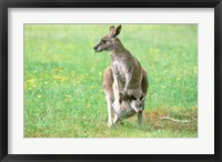 Framed Australia, Kangaroo Island, Western Gray Kangaroos