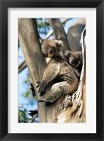 Framed Mother and Baby Koala on Blue Gum, Kangaroo Island, Australia
