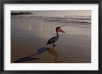 Framed Australian pelican bird on the beach, Stradbroke Island, Australia