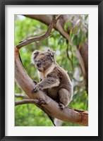 Framed Koala wildlife in tree, Australia