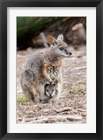 Framed Tammar wallaby wildlife, Australia