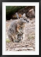 Framed Tammar wallaby wildlife, Australia