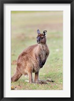 Framed Western grey kangaroo, Australia