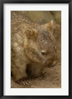 Framed Common Wombat, Marsupial, Australia