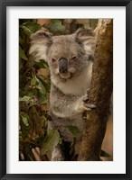 Framed Koala bear, Lone Pine Koala Sanctuary, AUSTRALIA