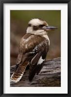 Framed Laughing kookaburra bird, Stradbroke Island, Australia