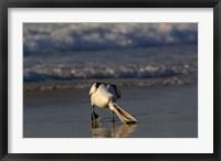 Framed Australian pelican bird, Stradbroke Island, Australia