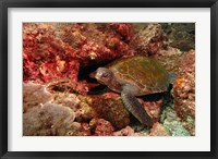 Framed Green turtle, Stradbroke Island, Queensland, Australia