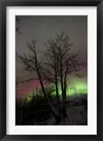 Framed Aurora Borealis with Tree, Twin Lakes, Yukon, Canada
