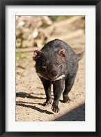 Framed Australia, Tasmanian Devil wildlife
