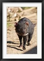 Framed Australia, Tasmanian Devil wildlife