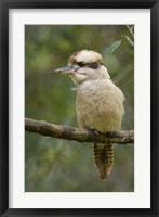 Framed Kookaburra Bird, Tasmania, Australia