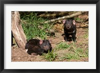 Framed Pair of Tasmanian Devils