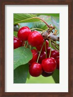 Framed Cherry Orchard, Central Otago, South Island, New Zelaland