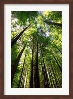 Framed Redwood Forest, Rotorua, New Zealand
