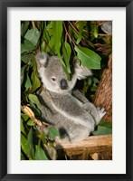 Framed Australia, Brisbane, Fig Tree Pocket, Koala Bears