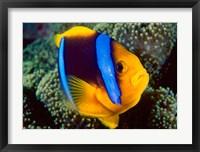 Framed Anemonefish, Great Barrier Reef, Australia