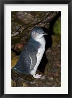Framed Australia, Bass Strait, Little blue penguin