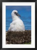 Framed Australia, Tasmania, Bass Strait Albatross chick