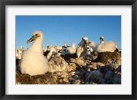 Framed Shy Albatross chick and colony, Bass Strait, Tasmania, Australia