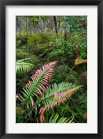 Framed Waipoua Forest, North Island, New Zealand