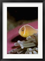 Framed Australia, Great Barrier Reef Anemonefish