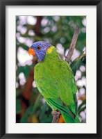 Framed Australia, East Coast Rainbow Lorikeets bird (back view)