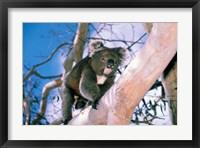 Framed Australia, Kangaroo Isl, Koala bear, eucalypytus tree