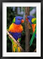 Framed Australia, Pair of Rainbow Lorikeets bird