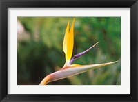 Framed Australia, Queensland, Bird of paradise flower garden