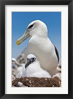Framed Australia, Tasmania, Bass Strait Shy albatross with chick