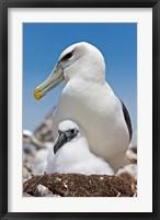 Framed Australia, Tasmania, Bass Strait Shy albatross with chick