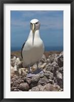Framed Australia, Tasmania, Bass Strait Shy albatross