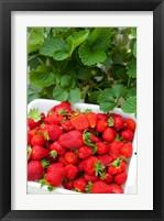 Framed Hedgerow Hydroponics, strawberry farm, Marlborough, South Island, New Zealand
