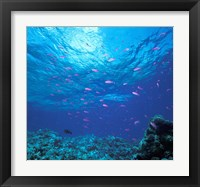 Framed Australia, Great Barrier Reef Purple Anthias fish