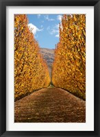 Framed Autumn, Orchard, Roxburgh, South Island, New Zealand