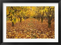 Framed Orchard, Roxburgh, Central Otago, South Island, New Zealand