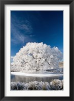 Framed Hoar Frost on Willow Tree, near Omakau, Central Otago, South Island, New Zealand