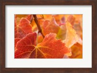 Framed Vine leaves, Domain Road Vineyard, South Island, New Zealand