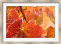 Framed Vine leaves, Domain Road Vineyard, South Island, New Zealand