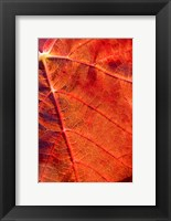 Framed Autumn leaf, Domain Road Vineyard, South Island, New Zealand